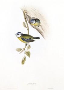 (Blue Tit) Parus Caeruleus