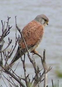 (Common_Kestrel)Falco tinnunculus
